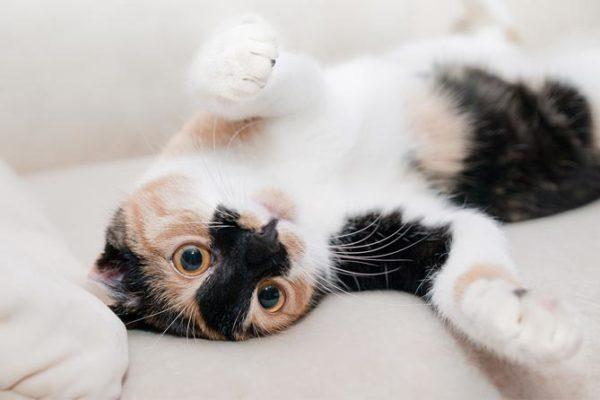 Alteraciones en las vías urinarias bajas del gato