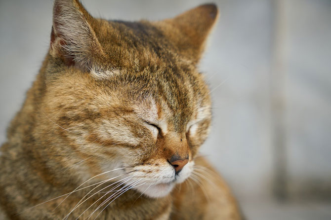 gingivitis en gats - urgèncias veterinàries