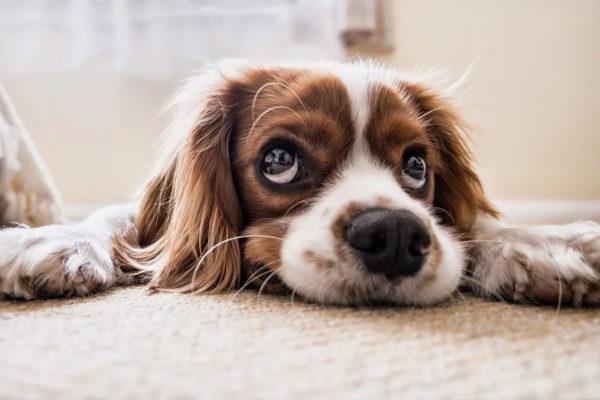 Metritis en perras: síntomas, causas y tratamiento