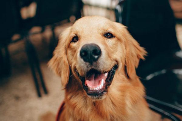 Hipotirodismo en perros: qué es, síntomas y tratamiento