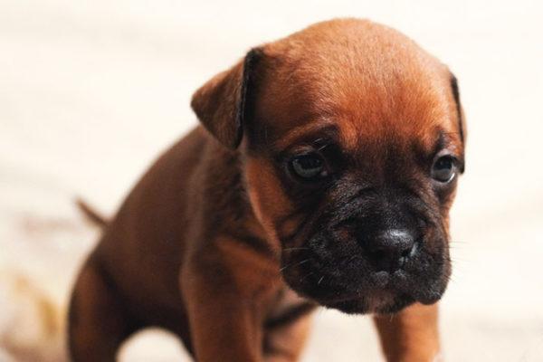 Les intoxicacions en gossos i gats: com es produeixen i com cal actuar