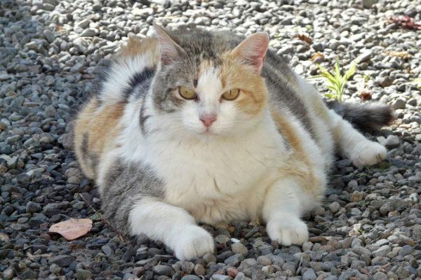 Diabetes en Gatos: Qué es, Diagnóstico y Tratamiento